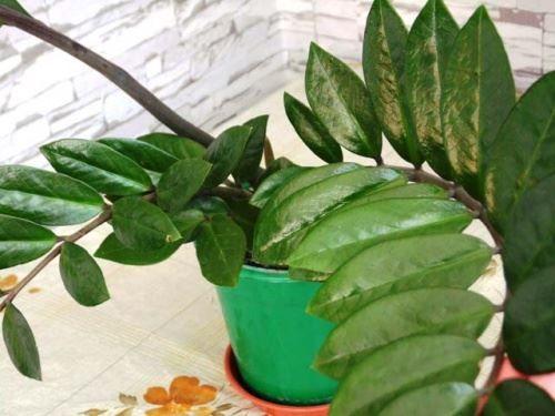 Замиокулькас для домашнього вирощування
