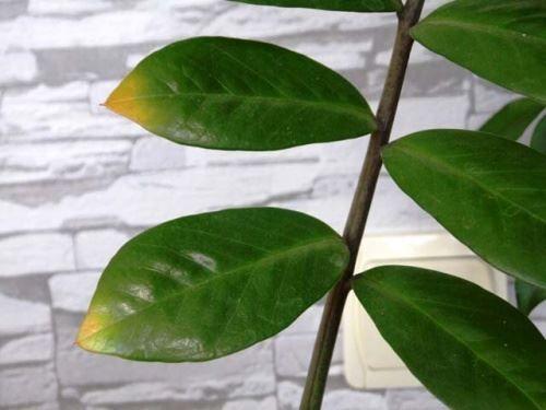 листя жовтіють