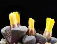 Літопси, або живі камені, можуть навіть в горщику витримати близько року без єдиної краплі води