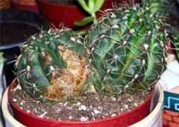 Неправильний полив може привести до загибелі кактуса