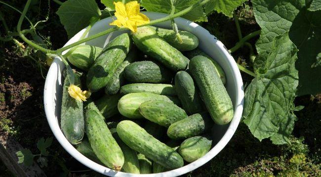 огірки, урожай