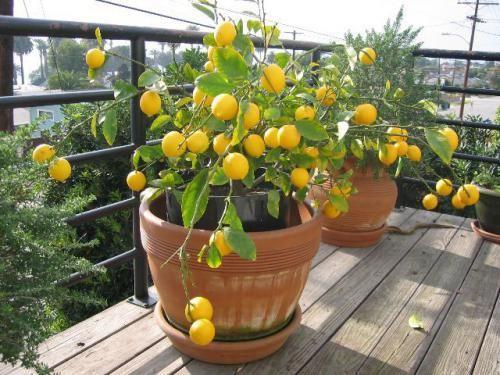 Лимонне дерево: труднощі в догляді