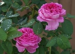 як посадити троянди