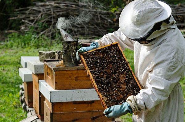 Робота бджоляра на пасіці