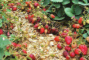 Багатий урожай полуниці