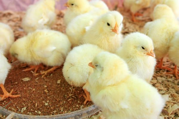 Необхідно простежити, щоб за добу курчата змогли знайти годівниці і корм в них, а також поїлки