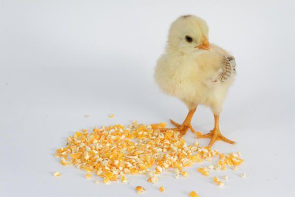 Курча НЕ доросла курка, він зернятко пшеничне проковтнути не зможе