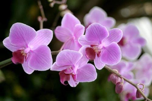 Як правильно доглядати за орхідеєю?