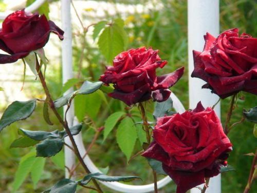 Як правильно вкрити троянди на зиму?