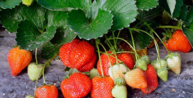 Як правильно вирощувати полуницю в відкритому грунті