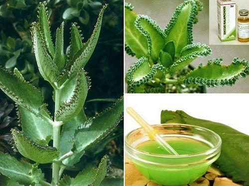 Настоянку каланхое використовують разом з іншими лікарськими рослинами