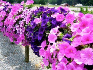 посів петунії на розсаду
