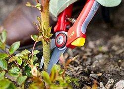 Як провести обрізку садових троянд восени?
