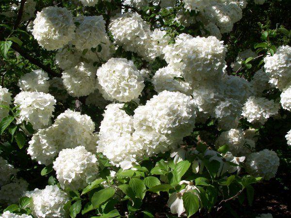 як розсаджувати гортензію садову