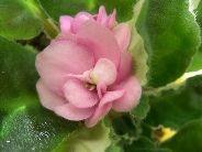 Як розмножити сенполию з листового живця