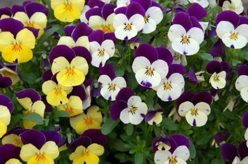Як садити братки в розсаду і в грунт