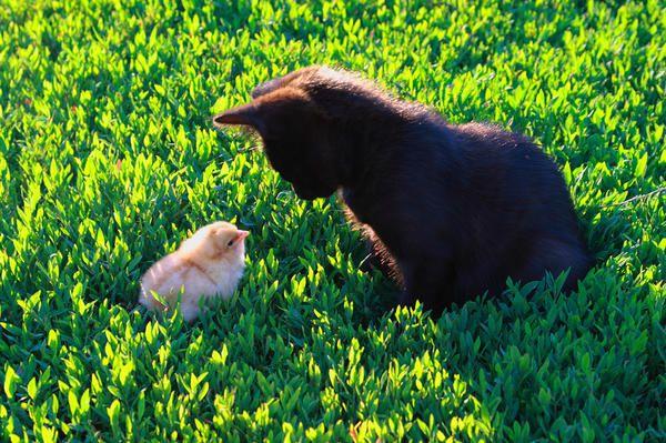 Кошеня і курча. Друзі чи вороги?