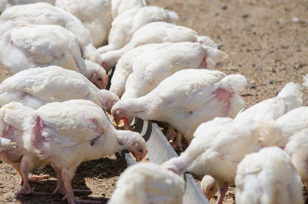 Підростаючі курчата клюють корм