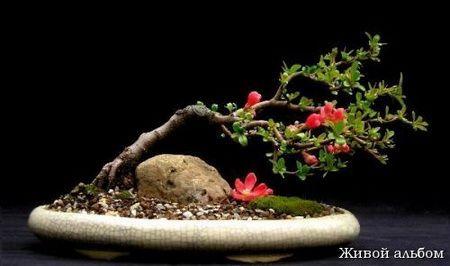 Як створити квітучий бонсай з японської айви