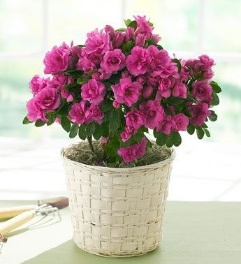 Як доглядати за квіткою азалія