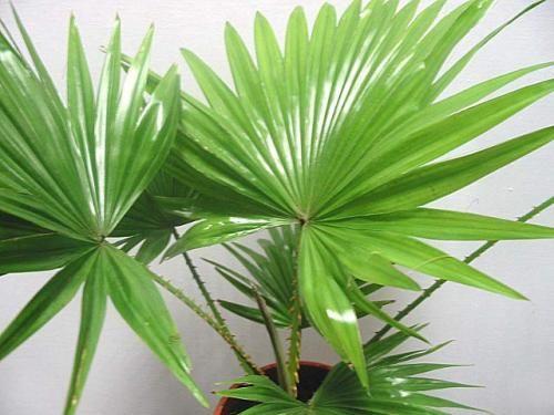 Як доглядати за квіткою пальма?