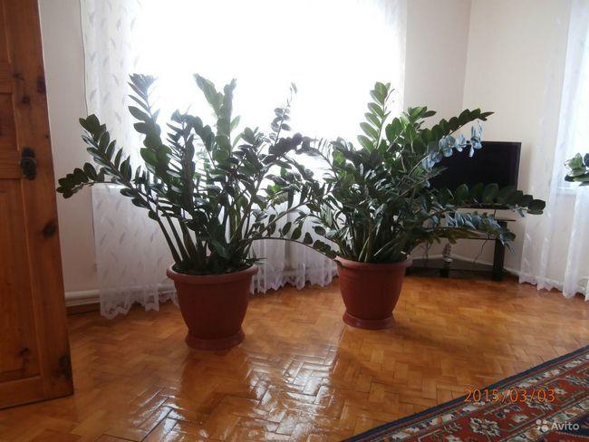 кімнатна доларове дерево