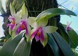 Домашня орхідея фаленопсис