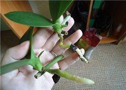 орхідея фаленопсис розмноження