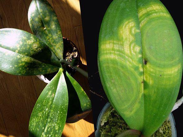 Хвороби листя орхідеї
