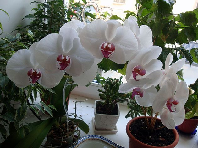 квітуча орхідея
