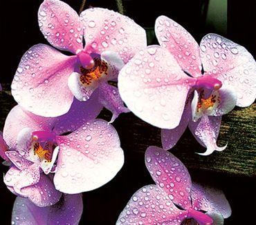 Як доглядати за домашніми орхідеями?