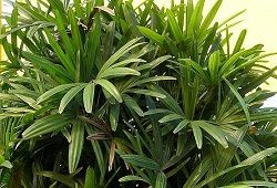 Як доглядати за домашніми пальмами?