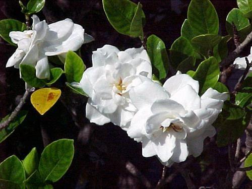 квітки гарденії