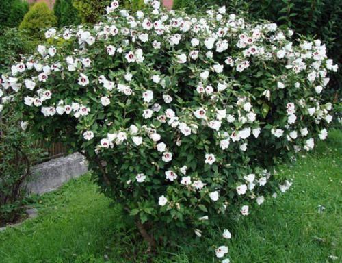 Як доглядати за гібіскусом сирійським в саду і на дачі