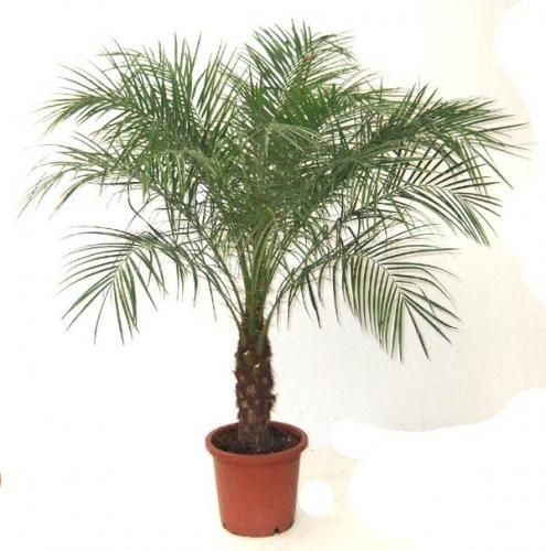 Як доглядати за пальмою
