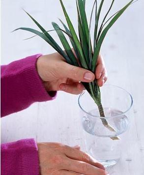 Три способи розмноження квітки драцени