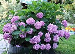 садові гортензія