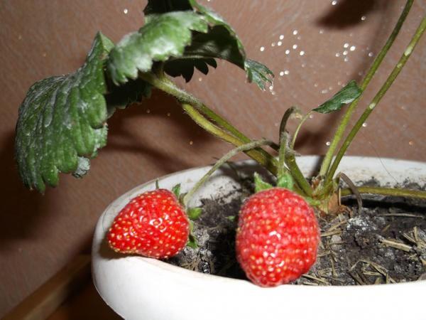 Садова суниця сорту НСД Аїша, вирощена в кімнатних умовах