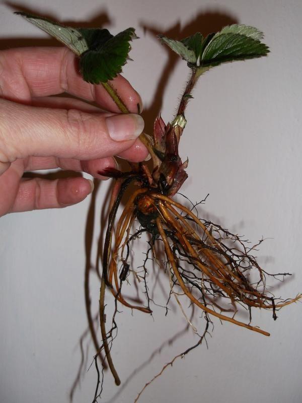 Саджанець суниці садової
