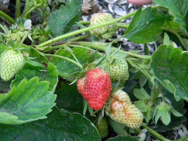 Деформація ягоди при недостатньому запиленні