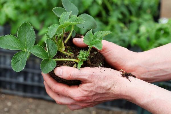 Як вибрати весняну розсаду суниці садової та підготувати її до пересадки