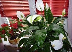 Чому не цвіте підріс спатифиллум?