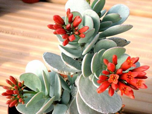 Як вирощувати каланхое декоративний
