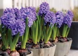 Як вирощувати цибулинні рослини в домашньому середовищі?
