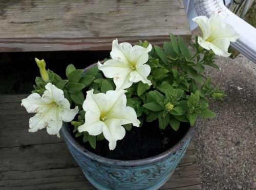 Вирощування квітів через розсаду