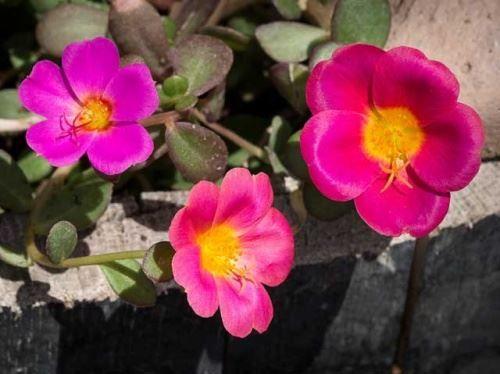 Притулок крупноцветковий - вирощування розсади квітів