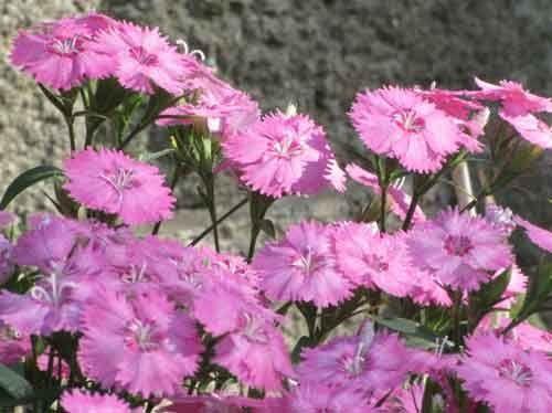 Гвоздика Шабо - вирощування розсади