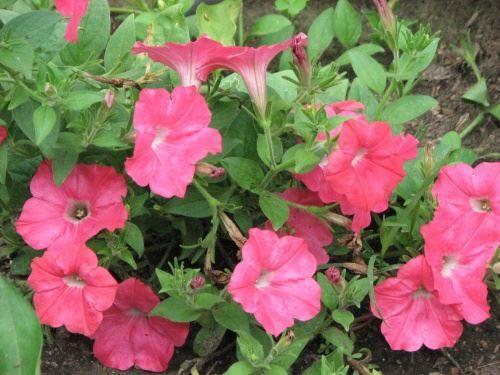 Вирощування розсади петунії