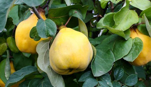 Айва звичайна (Cydonia oblonga)