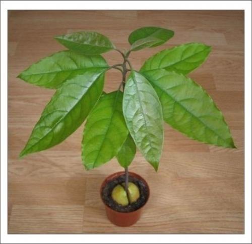 Як виростити авокадо з кісточки?